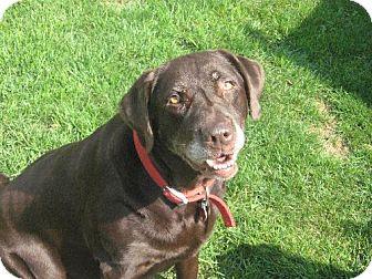 Labrador Retriever Dog for adoption in Winfield, Pennsylvania - Babe