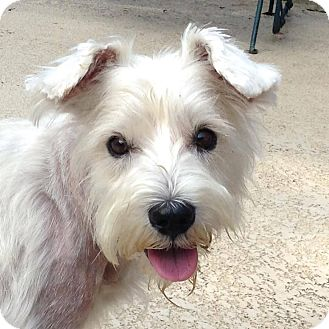 Westie, West Highland White Terrier Dog for adoption in Frisco, Texas - MERYLN HAS BEEN ADOPTED!