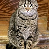 Domestic Shorthair Cat for adoption in Asheville, North Carolina - Beauty