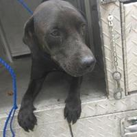 Adopt A Pet :: Dark Star - Clarkesville, GA