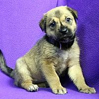 Adopt A Pet :: Olivia - Westminster, CO