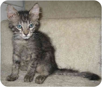 Domestic Shorthair Kitten for adoption in Davis, California - Max