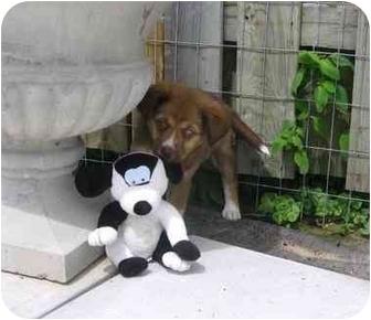 Labrador Retriever/Springer Spaniel Mix Puppy for adoption in Ile-Perrot, Quebec - Molly
