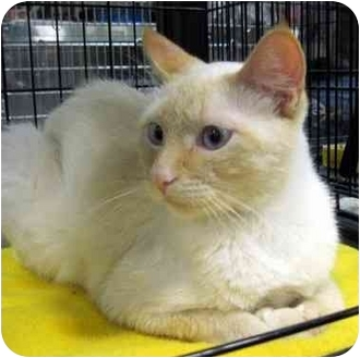 Siamese Cat for adoption in Overland Park, Kansas - Starkist