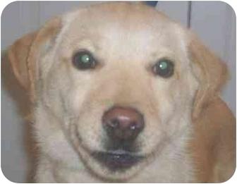 Labrador Retriever/Siberian Husky Mix Puppy for adoption in Chapel Hill, North Carolina - Bethany