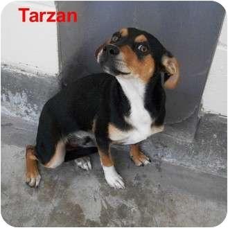 Jack Russell Terrier Mix Dog for adoption in Slidell, Louisiana - Tarzan
