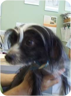 Chinese Crested Mix Dog for adoption in Grants Pass, Oregon - Paco