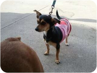 Chihuahua Mix Dog for adoption in Hendersonville, Tennessee - Sasha