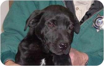 Labrador Retriever Mix Puppy for adoption in Cut Bank, Montana - Slipper