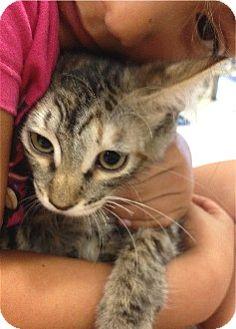 Domestic Mediumhair Kitten for adoption in Schertz, Texas - Sweet Pea