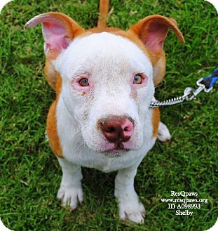 American Pit Bull Terrier Mix Puppy for adoption in Yuba City, California - Shelby