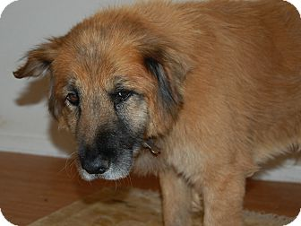 Chow Chow Mix Dog for adoption in Creston, California - Martin