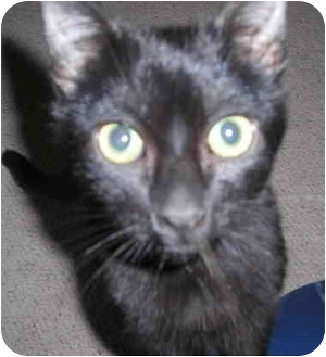 Domestic Shorthair Cat for adoption in Sacramento, California - Sten!