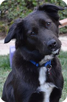 Labrador Retriever/Border Collie Mix Dog for adoption in Simi Valley, California - Cinders