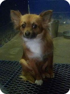 Pomeranian/Chihuahua Mix Dog for adoption in Hagerstown, Maryland - Bree