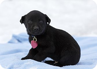 Shepherd (Unknown Type)/Labrador Retriever Mix Puppy for adoption in Ile-Perrot, Quebec - Prince