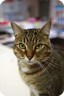Domestic Shorthair Cat for adoption in St. Petersburg, Florida - Marco