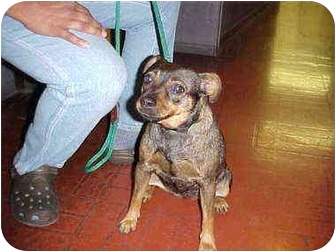 Jack Russell Terrier/Pug Mix Dog for adoption in Los Angeles, California - Koo