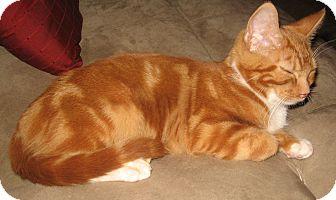 Domestic Shorthair Kitten for adoption in Hendersonville, Tennessee - Mumford