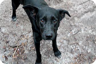 Labrador Retriever/Catahoula Leopard Dog Mix Dog for adoption in Groveland, Florida - D,O.G.