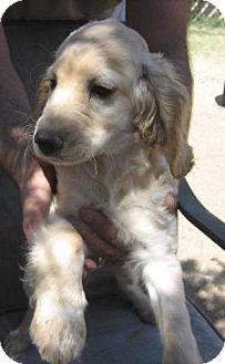 Cocker Spaniel/Dachshund Mix Puppy for adoption in Chandler, Arizona - Sandy
