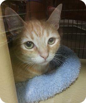 British Shorthair Cat for adoption in Arcadia, California - Haley