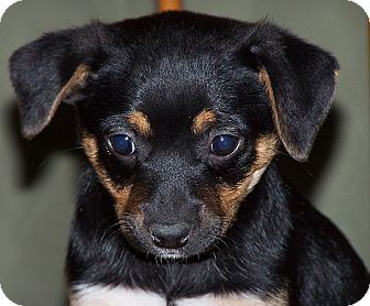 Australian Cattle Dog/Terrier (Unknown Type, Medium) Mix Puppy for adoption in Milford, New Jersey - Cho