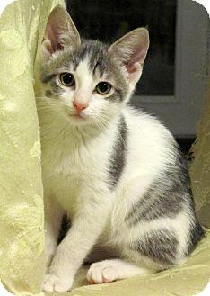 Domestic Shorthair Kitten for adoption in Seminole, Florida - Elton John