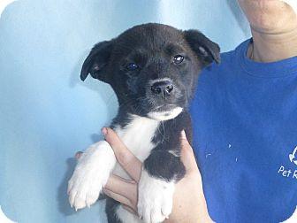 Border Collie/Australian Shepherd Mix Puppy for adoption in Oviedo, Florida - Morris