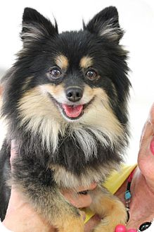 Pomeranian Mix Dog for adoption in Chattanooga, Tennessee - Bear