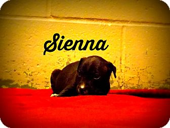 Pit Bull Terrier Mix Puppy for adoption in Defiance, Ohio - Sienna