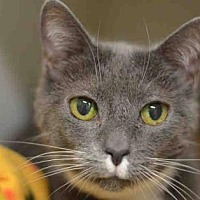 Domestic Shorthair Cat for adoption in New York, New York - Gracie