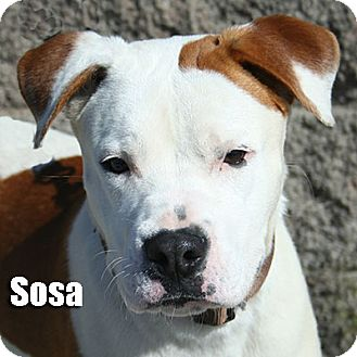 Boxer Mix Puppy for adoption in Encino, California - Sosa