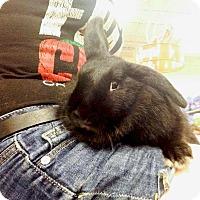Adopt A Pet :: Licorice - Williston, FL