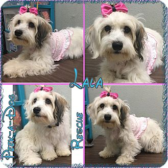 Maltese/Poodle (Miniature) Mix Dog for adoption in South Gate, California - Lala