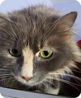 Domestic Longhair Cat for adoption in Springfield, Vermont - Jolene