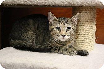 Domestic Shorthair Cat for adoption in Greensboro, Georgia - Abby