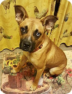 Boxer/Mountain Cur Mix Dog for adoption in Hagerstown, Maryland - Cool Cobain