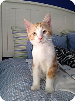 Domestic Shorthair Kitten for adoption in Plymouth, Minnesota - Butterscotch