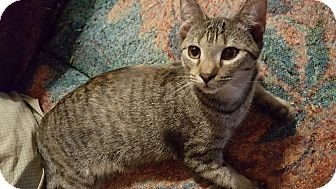 Domestic Shorthair Kitten for adoption in Smithfield, North Carolina - Lula