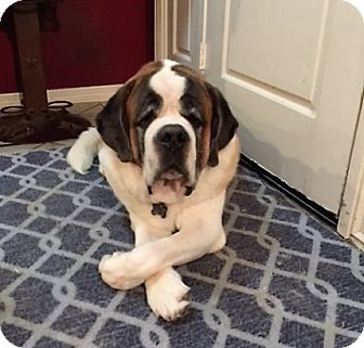 St. Bernard Dog for adoption in McKinney, Texas - Romeo