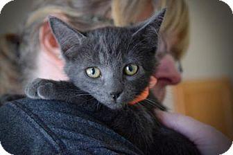 Domestic Shorthair Kitten for adoption in Wichita, Kansas - Quartz