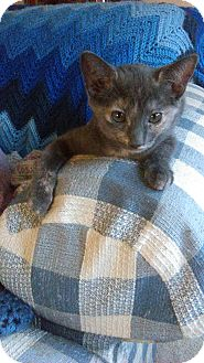 American Shorthair Kitten for adoption in San Jose, California - Beckett