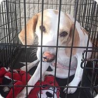 Adopt A Pet :: Hannah - Gainesville, FL