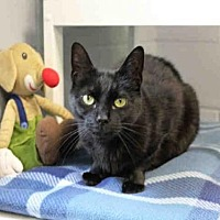 Domestic Mediumhair Cat for adoption in Hampton Bays, New York - GABRIELLA
