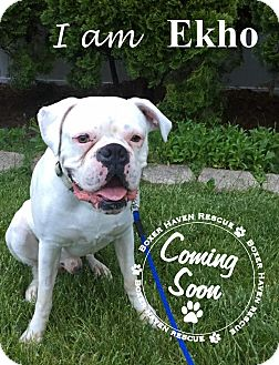 Boxer Dog for adoption in Waterford, Michigan - Adopted - Ekho and Kaos
