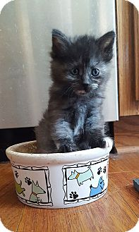 Domestic Longhair Kitten for adoption in Elgin, Illinois - Link