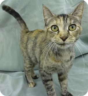 Domestic Shorthair Cat for adoption in Olive Branch, Mississippi - Stella