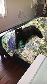 Domestic Longhair Cat for adoption in Monroe, New York - Amelia