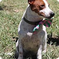 Adopt A Pet :: Rusty Basset - Olympia, WA